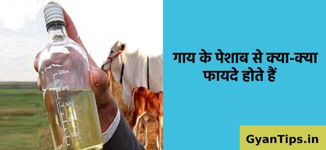गाय के पेशाब से क्या-क्या फायदे होते हैं Cow Urine Benefits in Hindi - Gyan Tips