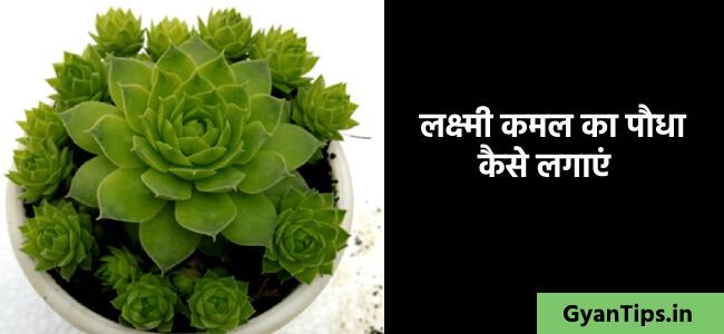 लक्ष्मी कमल का पौधा कैसे लगाएं कमल का पौधा कैसे लगाये - Gyan Tips